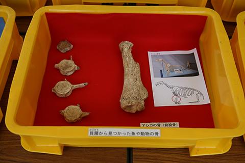 魚の骨とアシカの前腕骨